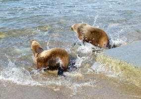 sea lion release as part of Dawn Wildlife Rescue