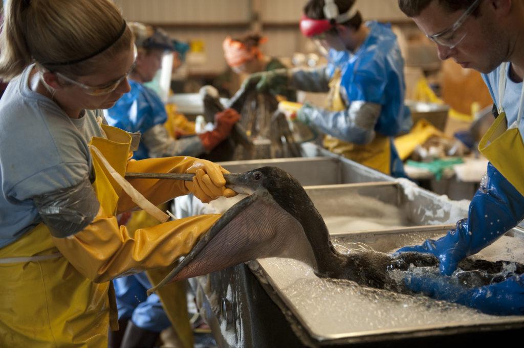 Crews work to clean oiled birds. Credit: Joel Sartore/National Geographic Creative