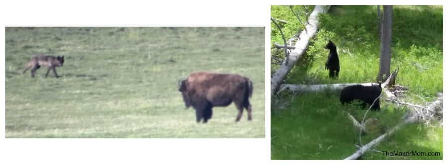 Bison and Wolf at Yellowstone National Park, part of the Best Wild West vacation
